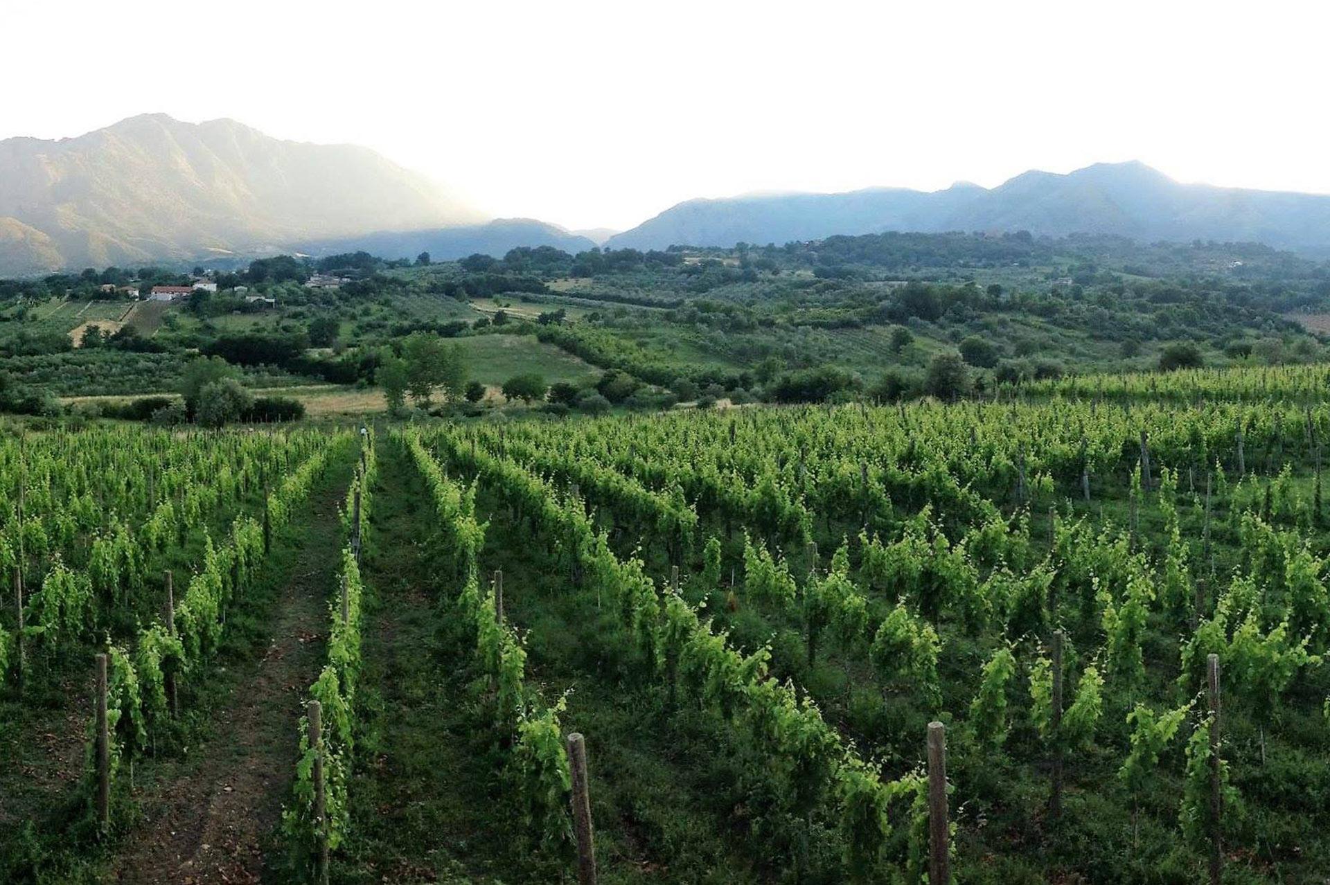 vinoteca-tempere-roma-aglianico_vigneto